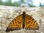 Grote parelmoervlinder (Argynnis aglaja)
